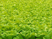 Hydroponic lettuce — Stock Photo