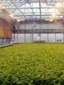 Roof farm lettuce patch — Stock Photo