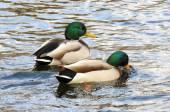 Two mallard ducks in blue water — Stock Photo