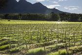 Vineyards at sunset — Stock Photo