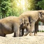 Elephants — Stock Photo #74144871