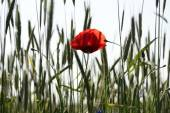 Rural landscape - red poppies — Stock Photo