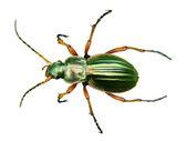 Escarabajo en una hoja — Foto de Stock