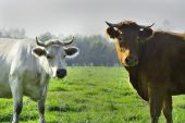 Beautiful cows and bulls on a green field — Stockfoto