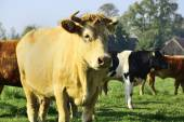 Beautiful cows and bulls on a green field — Stock Photo