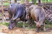 Wasserbüffel. — Stockfoto