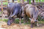 Water buffalo. — Stockfoto
