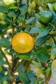 Kumquat. — Stock Photo
