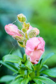 Antirrhinum majus flower. — Stock Photo