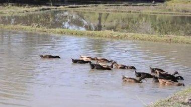 Ducks foraging. — 图库视频影像