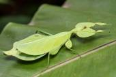 Leaf Insect. — Stock Photo