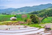 Farmer rice seedling. — Stock Photo