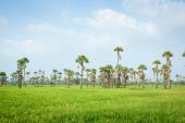 Сахарная пальма — Стоковое фото