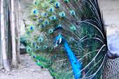 Textures and colors of the peacock — Stock Photo