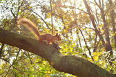 Red squirrel on a autumn tree with yellowing leaves — Stock Photo