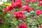 A lot of blooming roses — Stock Photo