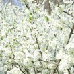 Spring flowering tree — Stock Photo #59795949