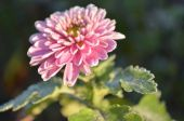 Pink flower frosted — Stock Photo