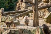 狒狒 — 图库照片