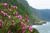 Pink oleander in North coast of Madeira Island — Stock Photo