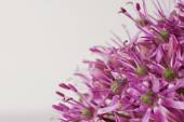 Close up Blooming Purple Allium, onion flower isolated on a white — Stock Photo