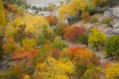 Apricot trees in Hoper Valley,Northern Pakistan — Stock Photo