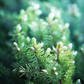 Fir tree backgroun — Foto Stock