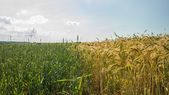Wheat against the sky — Stock Photo