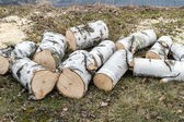 Old birch cut on the wood — Stock Photo