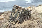 Sawdust around the stump — Stock Photo