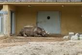 Stora rhino sömn — Stockfoto