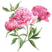 Pink peonies botanical watercolor illustration — Stock Photo