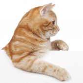 Red domestic cat — Stock Photo