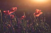Flores de amapola rojas — Foto de Stock
