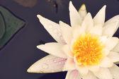 Pink waterlily close up — Stock Photo