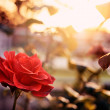 Red rose in the garden — Stock Photo #70271119