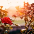 Red rose in the garden — Stock Photo #70273999