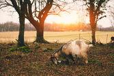 Goat grazing in field — Stock Photo