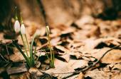 Beautiful snowdrops in the forest — Stock Photo