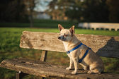 Little dog Chihuahua — Stock Photo