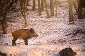 Wild boar at winter — Stock Photo