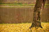Ivy on the tree at autumn — Stock Photo