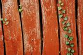 Ivy on the wooden wall — Stock Photo