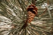 Pine cones close up — 图库照片