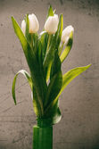White fresh tulips — Stock Photo