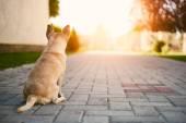 Chihuahua guard the house — Foto Stock