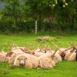 Sheeps herd on the pasture — Stock Photo #75394645