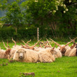 Sheeps herd on the pasture — Stock Photo #75393423