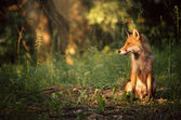 Fox on the summer forest — Stock Photo