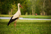Stork on the green meadow — Stock Photo